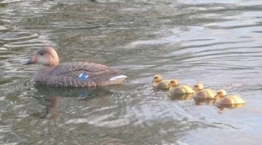 Ross's Duck family